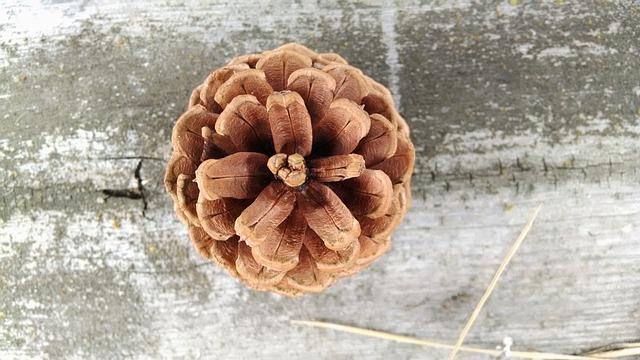 Conifer Cone, Pine Cone, Cone, Pine, Coniferous, Brown