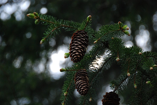 Pine Cones, Branches, Green, Close, Dark