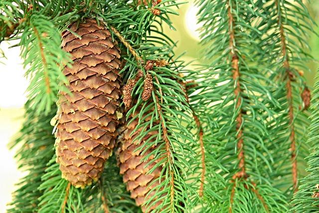 Pine Cones, Spruce, Conifer, Tap, Nature
