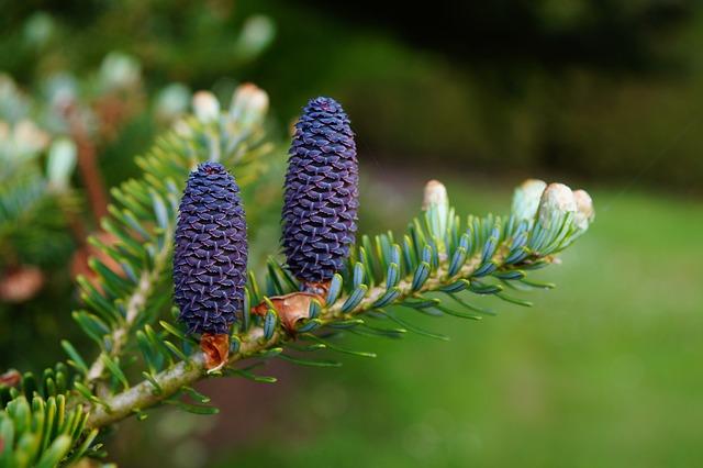 Fir, Tannenzweig, Pine Cones, Needles, Tap Blue