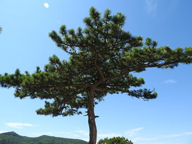 Pine, Conifer, Tree