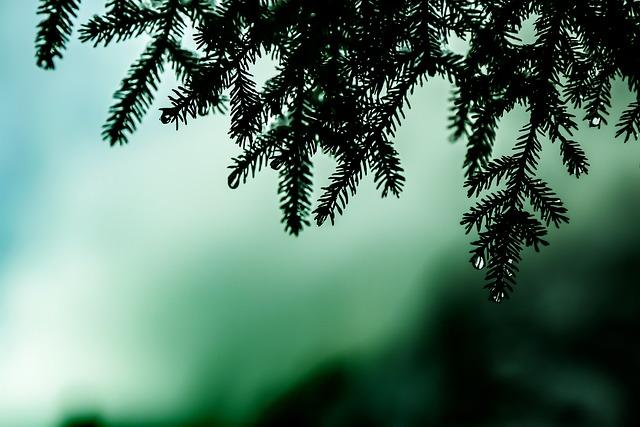 Pine, Drop, Turkey