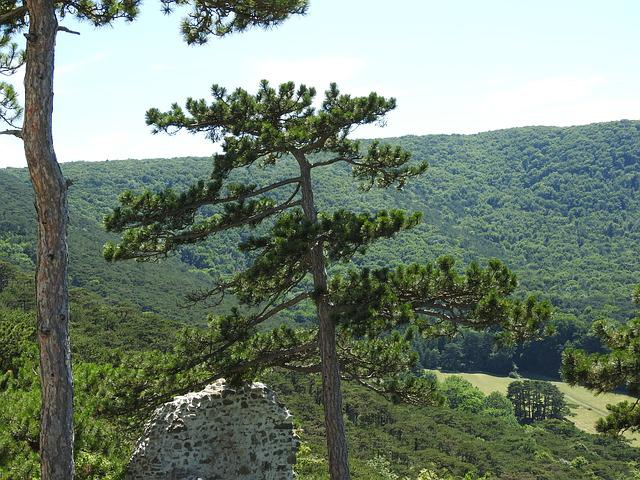 Pine, Pine Forest, Tree, Outlook