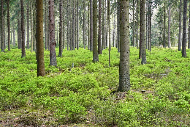 Forest, Pine Forest, Trees, Spruce, Forest Plants