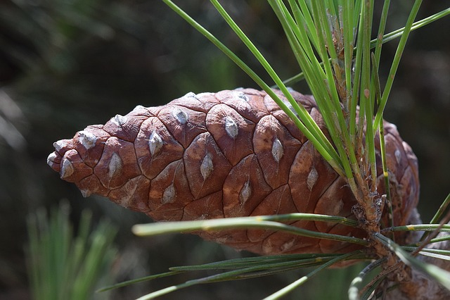 Pine, Tap, Pine Cones, Nature, Closed, Mediterranean