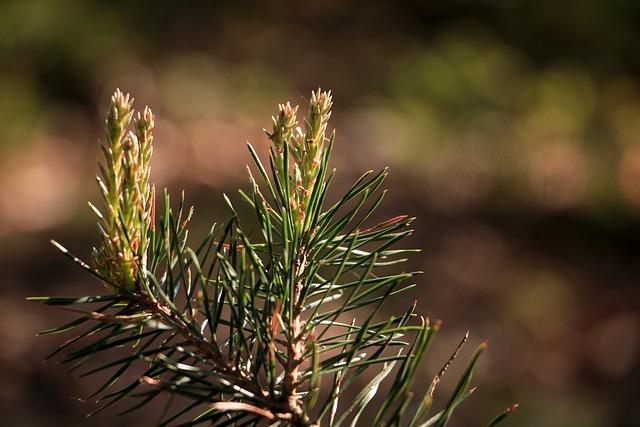 Pine Needles, Branch, Tannenzweig, Conifer