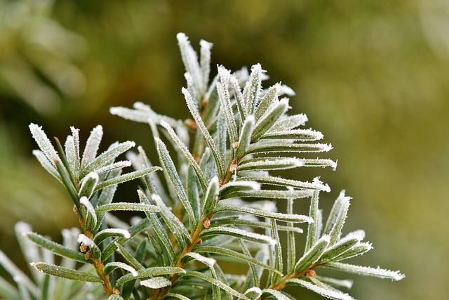 Pine Needles, Spruce, Needles, Frost, Hoarfrost, Winter