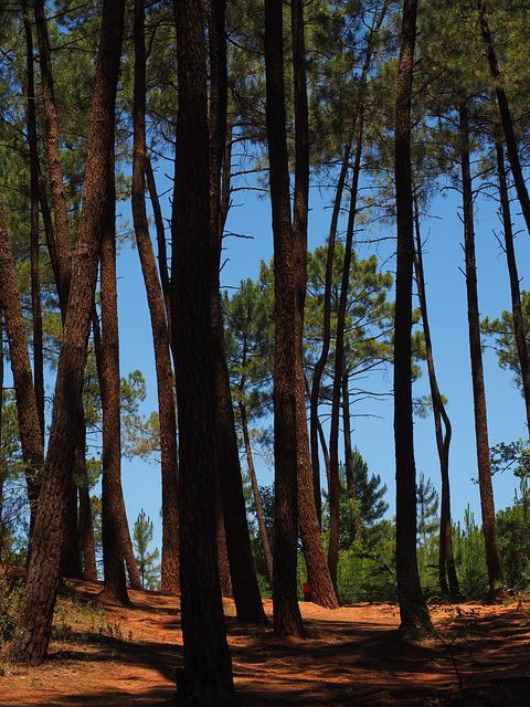 Pine Forest, Pine, Trees, Forest, Pine Family