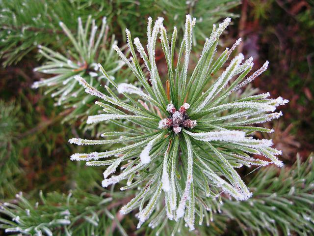 Icing, Winter, Pine Forest, Pine, Frost, Frozen, Whites