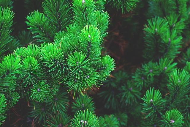 Pine, Plant, Tree, Branch, Conifer, Pine Needles