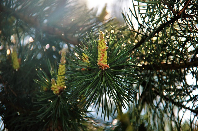 Pine, Sun, Forest, Trees, Nature, Russia, Needles