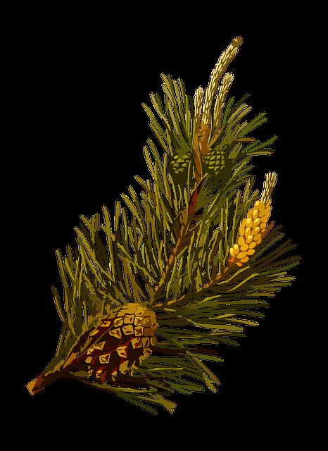 Herbal, Medicinal, Medicine, Pine, Plant, Scots, Tree