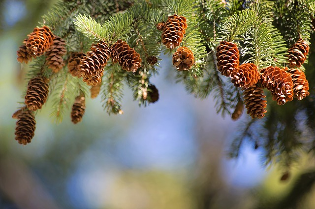 Pine Cones, Pine Branch, Text Area, Border, Pine