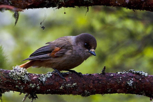 Birds, The Nature Of The, Three, Lavskrike, Pine