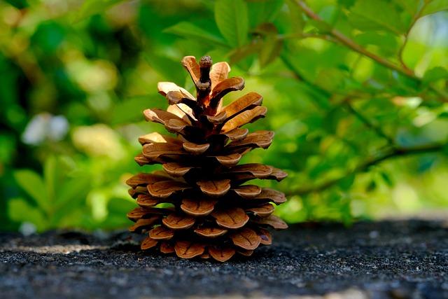 Pine Cones, Pine, Tree, Tap, Close, Conifer, Macro