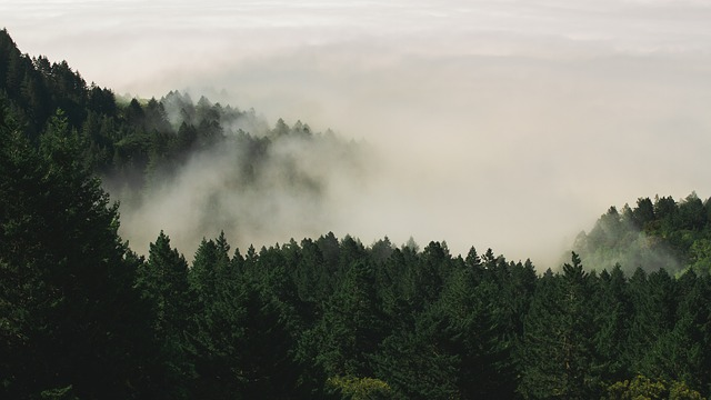 Fog, Forest, Nature, Pine Trees, Trees, Woods