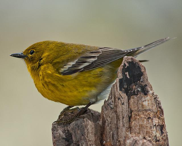 Pine Warbler, Warbler, Bird, Wildlife, Nature, Songbird