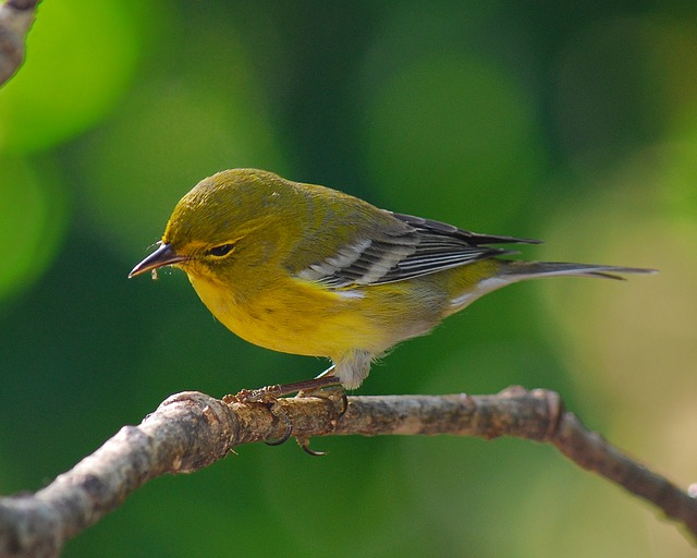 Pine Warbler, Bird, Wildlife, Nature, Yellow, Outdoors