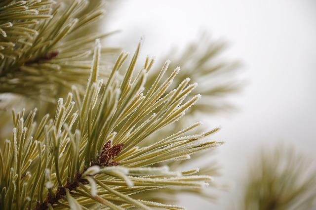 Pine, Plant, Unforgettable, Frost, Winter