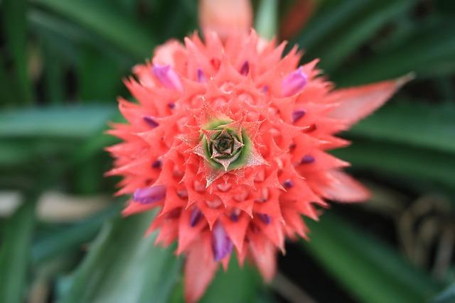 Pineapple Comosu, Pineapple, Blossom, Bloom