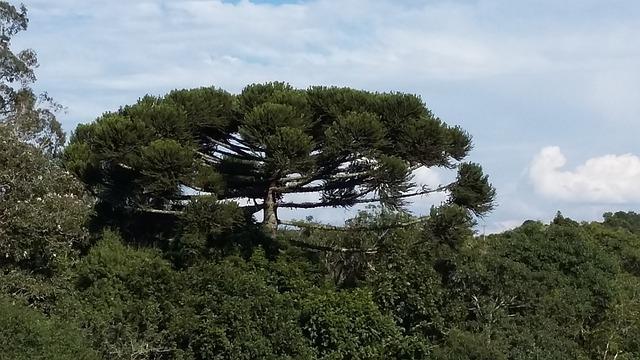 Paraná, Nature, Tree, Pinheiro, Curitiba