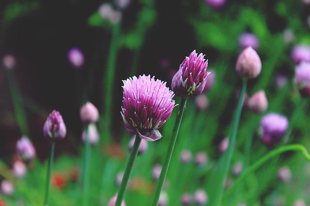 Chives, Allium Schoenoprasum, Blossom, Bloom, Pink