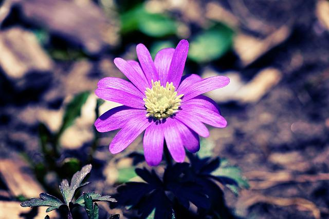 Balkan Anemone, Pink, Anemone, Natural Flooring, Flower