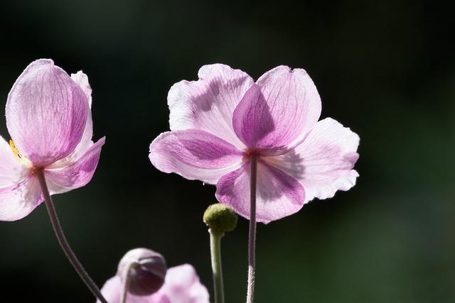 Anemone, Japan Anemone, Ranunculaceae, Tender, Pink