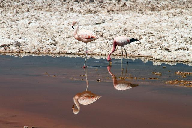 Flamingos, Pink, Atacama Desert, Chile, Animal, Bird