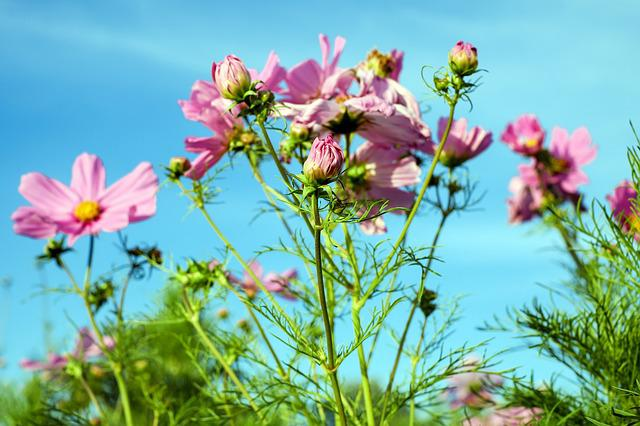 Cosmea, Flower, Cosmos, Blossom, Bloom, Flowers, Pink