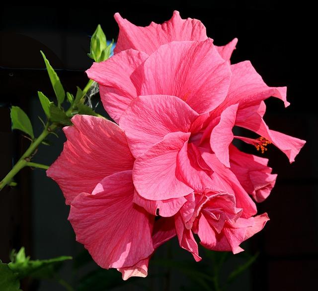 Flower, Hibiscus, Pink, Bloom
