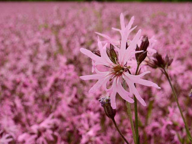 Flower, Blossom, Bloom, Bloom, Pink, Field, Meadow