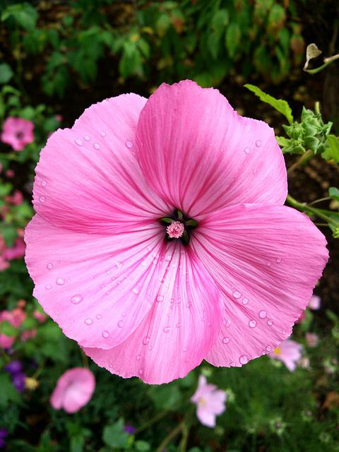 Mallow, Blossom, Bloom, Flower, Pink