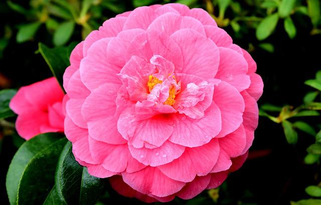 Flower, Pink, Blossom, Bloom, Pink Flowers, Pink Flower
