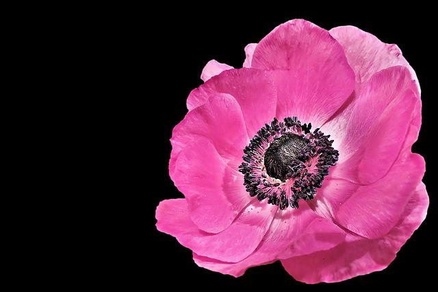 Anemone, Spring, Blossom, Bloom, Pink, Pink Petals