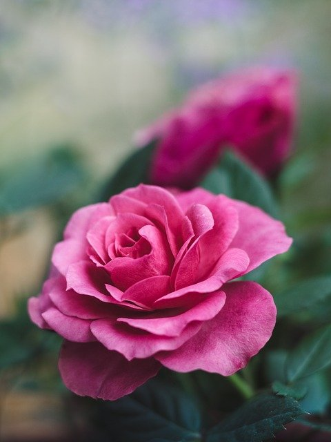 Flower, Rose, Pink, Blossom, Bloom, Nature, Plant