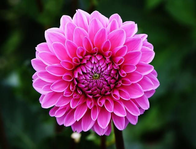 Dahlia, Blossom, Bloom, Flower, Pink, Asteraceae