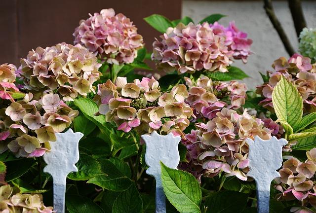 Hydrangeas, Garden, Garden Fence, Blossom, Bloom, Pink