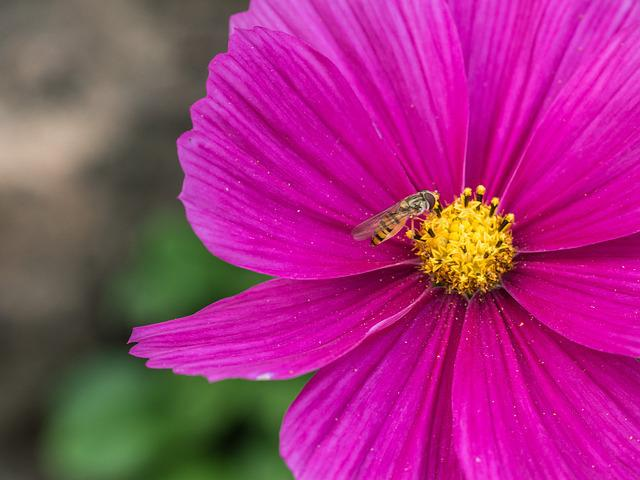 Flower, Blossom, Bloom, Pink, Hoverfly, Macro