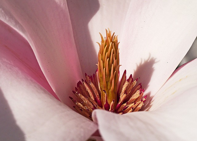 Magnolia, Blossom, Bloom, Middle, Center, Pink, Pyramid
