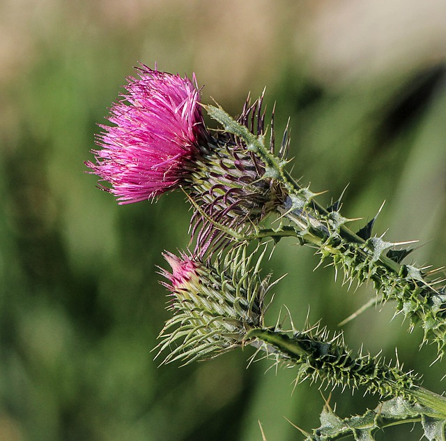 Thistle, Flower, Pink, Flora, Plant, Blossom, Weed