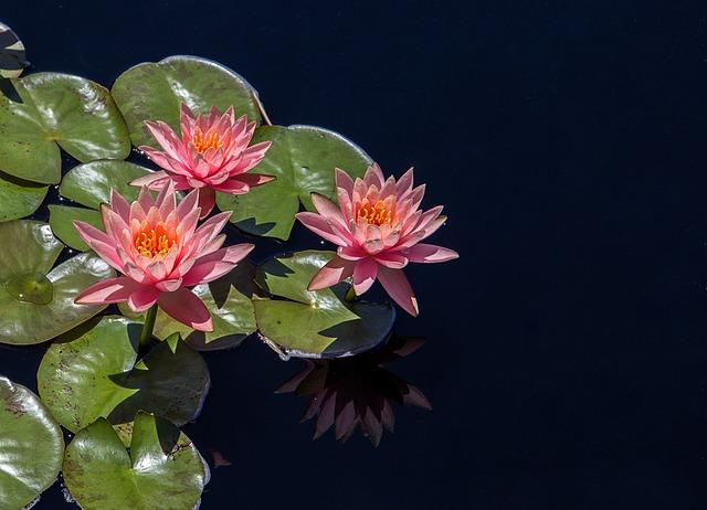 Lotus, Flower, Pond, Garden, Natural, Pink, Blossom