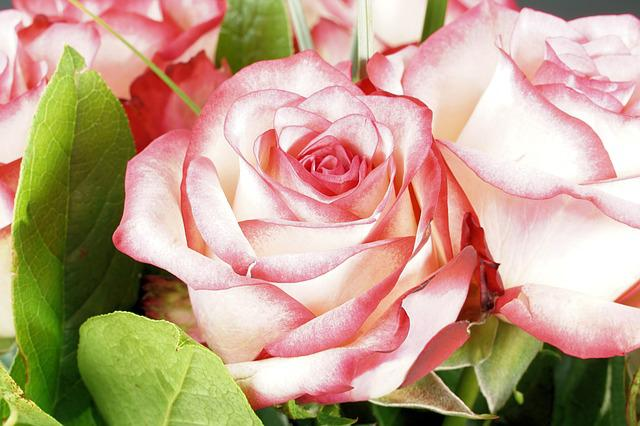 Rose, Pink, Flower, Blossom, Bloom, Rose Bloom, Nature