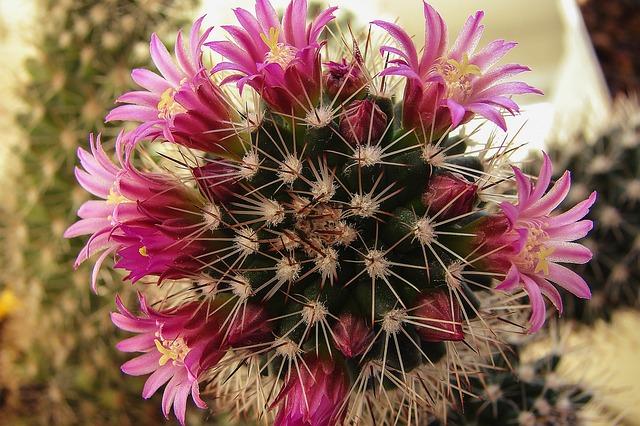 Flowers, Plant, Pink, Botany, Cacti