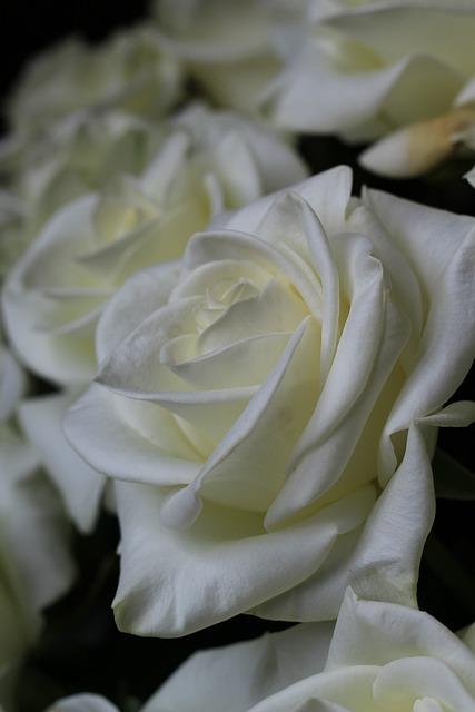 Pink, White, Nature, Rosebush, Flowers, Bouquet