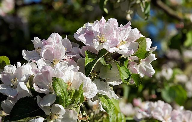 Apple Blossom, Pink, Fruit Tree, Branch, Apple Tree