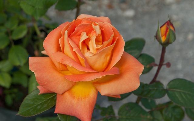 Flower, Pink, Button, Bud