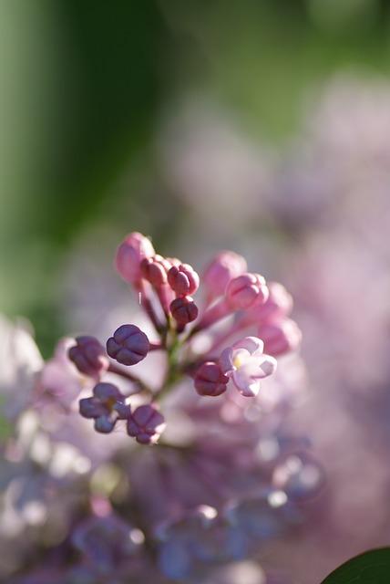Nature, Bush, Lilac, Pink, Blossom, Bloom, Purple