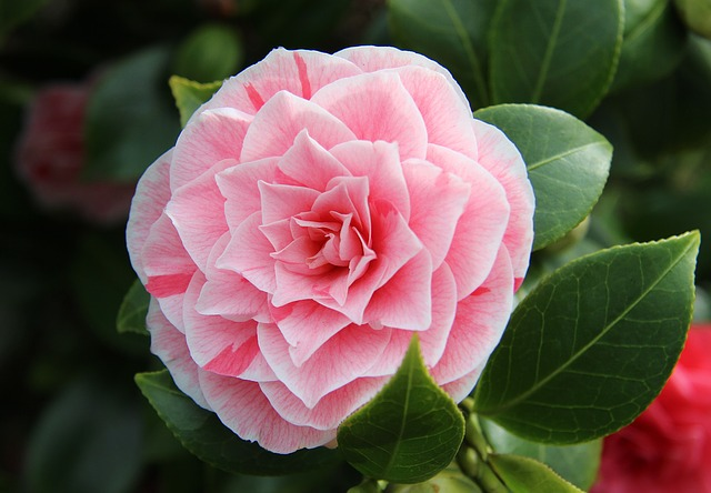 Camellia, Close, Pink, Spring, Full Bloom