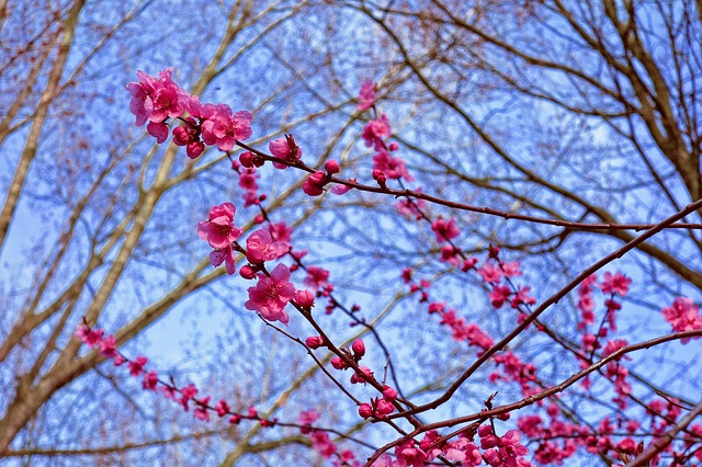 Pink Cherry Blossom, Cherry Blossom, Cherry Tree, Japan